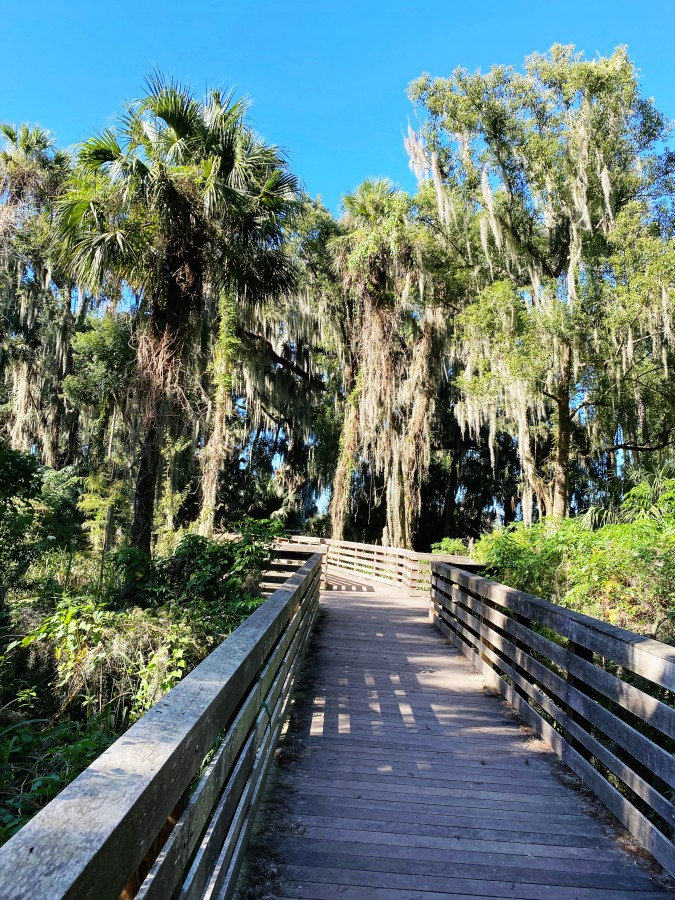 Boardwalk bordered by ancient trees