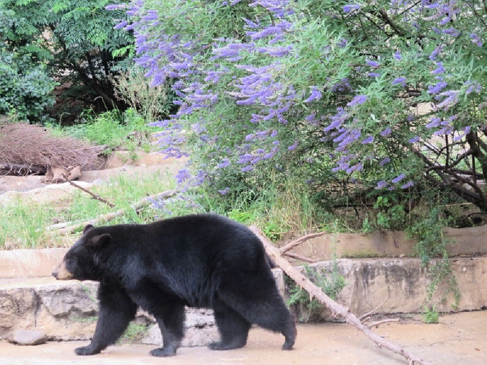 bear at the San Antonio Zoo